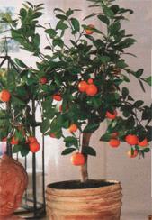 Апельсин комнатный