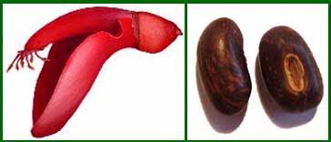 Эритрина петушиный гребень. Erytrina crista-galli