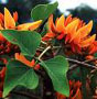 Эритрина. Erythrina poeppigiana