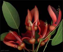 Эритрина- коралловое дерево. Редкие комнатные растения. Erytrina