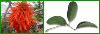 Эритрина Абиссинская. Erythrina abyssinica