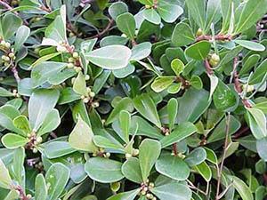 Фикус Язычковый - Ficus lingua