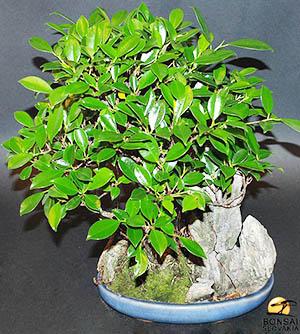 Фикус Притупленный - Ficus triangularis