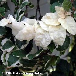 Фикус крохотный, карликовый -  Ficus pumila Snowflake