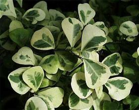 Фикус треугольный - Ficus triangularis