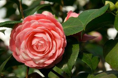 Миддлемист красный Middlemist camellia