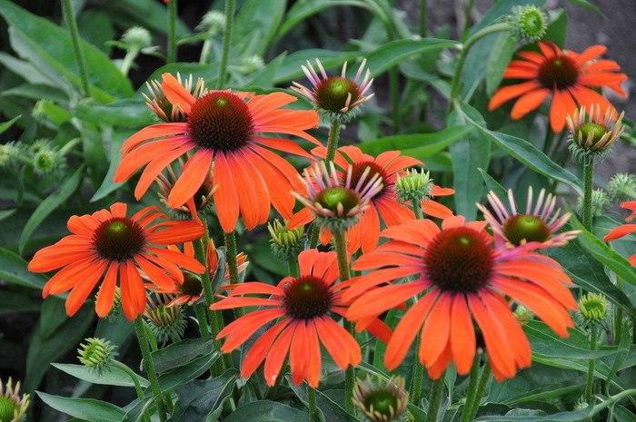 Эхинацея цветы выращивание