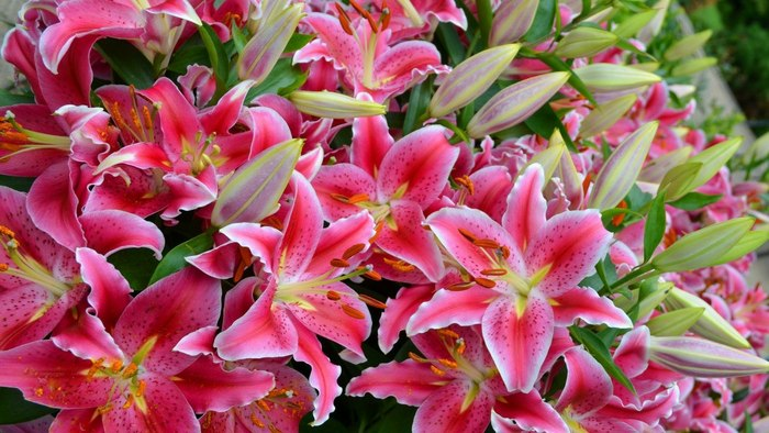 Лилия кудреватая (Lilium martagon)