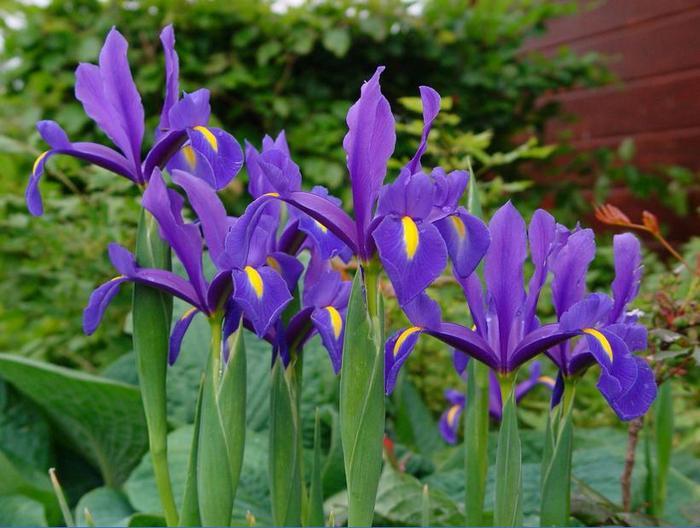iris-goll1
