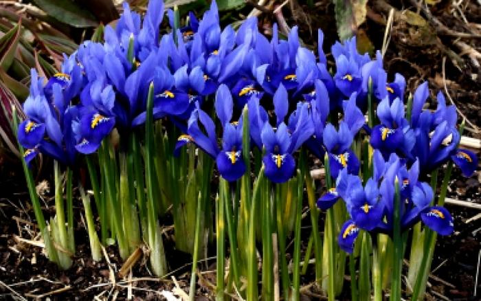 Картинка цветы ирисы - 8.