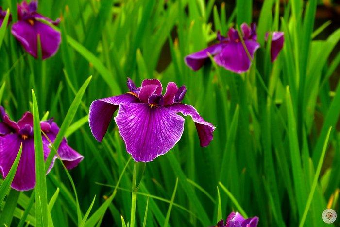 iris-goll5