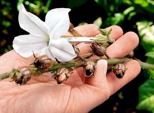 Самостоятельное размножение цветов семенами