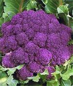 Фиолетовая королева