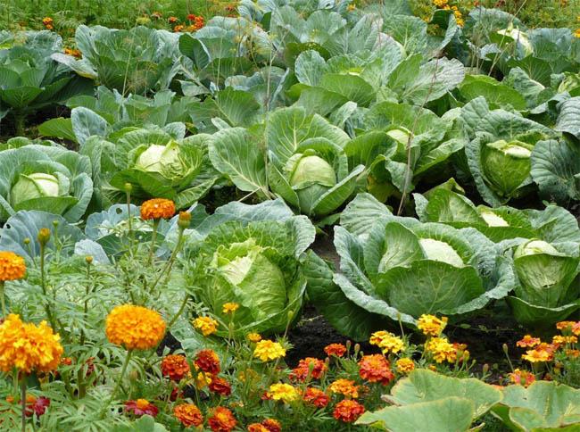 Растения-репеленты