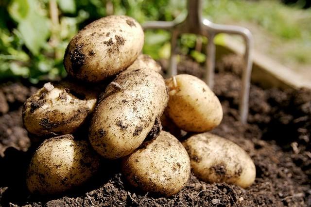 Картофель и дождь
