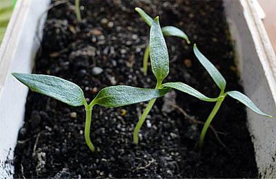 Пора выращивать рассаду перца. Маленькие хитрости