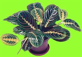 Комнатные цветы тропические