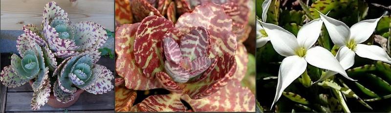 Каланхоэ мраморное или крупноцветковое