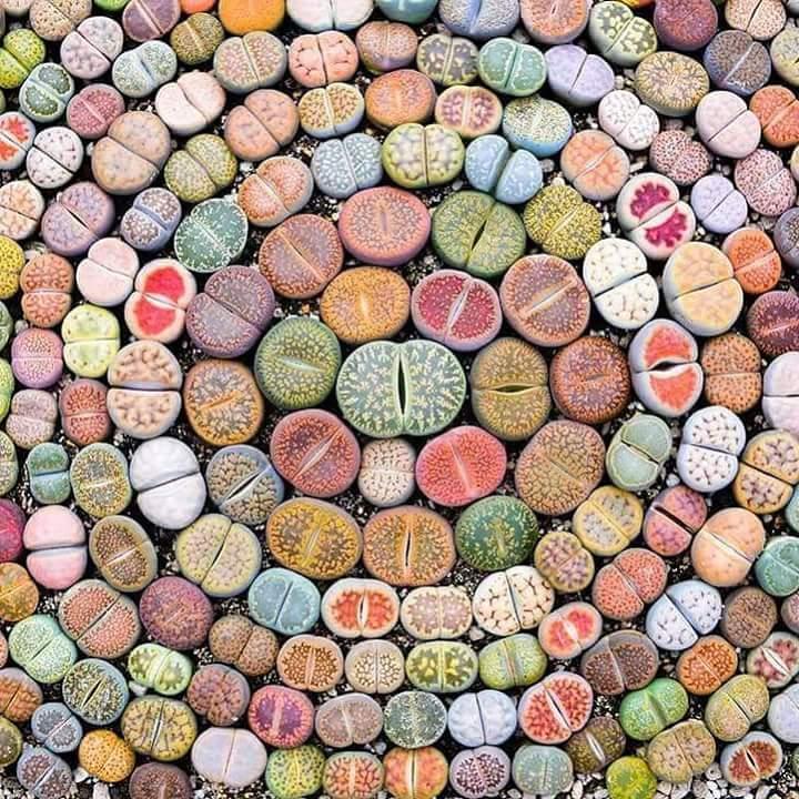 Живые камни литопсы